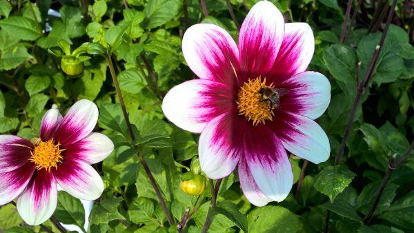 Dahlie mit Biene