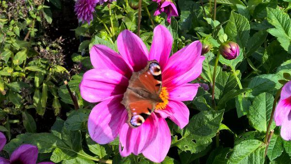 Dahlie mit Schmetterling