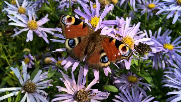 Das Pfauenauge ist ein wunderschöner Schmetterling
