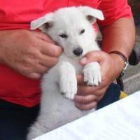Dieser kleine weißer Schäferhund bringt jeden Tag Freude - Nie wieder alleine im Alter