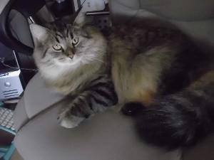 Meine Katze Kira auf meinem PC-Stuhl