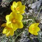 Krokusse - die ersten Frühlingsboten