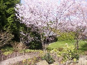 Kirschblüten in den Gärten der Welt in Berlin Marzahn