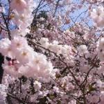 Wunderschöne Blüten der Japanischen Kirsche  in den Gärten der Welt Berlin Marzahn
