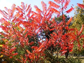 Rotgefärbtes Laub im Herbst
