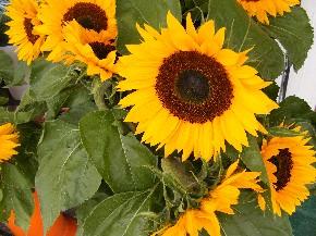 Sonnenblumen im Spätsommer