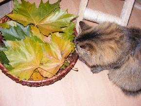 Herbstlaub für meine Katze