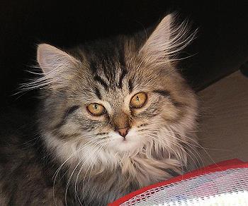 Maine Coon Katze Ende Februar 2011