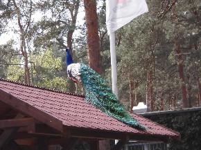 Der Pfau steht auf dem Dach und zeigt stolz seinen schönen Schwanz.