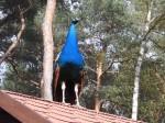 Ein Pfau steht auf dem Dach und hat den Überblick.
