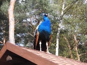 Ein Pfau steht auf dem Dach und zeigt stolz seine Brust.