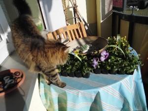 Meine Katze prüft die Stiefmütterchen für meine Balkonkästen