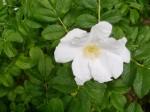 Das Wesentliche im Leben - eine Geschichte um eine weiße Rose