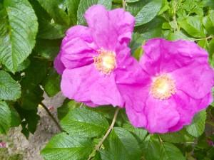 pinkfabene Rosen