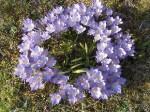 violette Krokusse - Geschenk aus Roswithas Osterwelt
