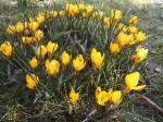 gelbe Krokusse - Geschenk aus Roswithas Osterwelt