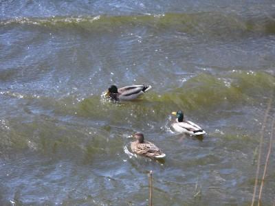 Enten bei stürmischem Wellengang im Springpfuhl in Berlin Marzahn