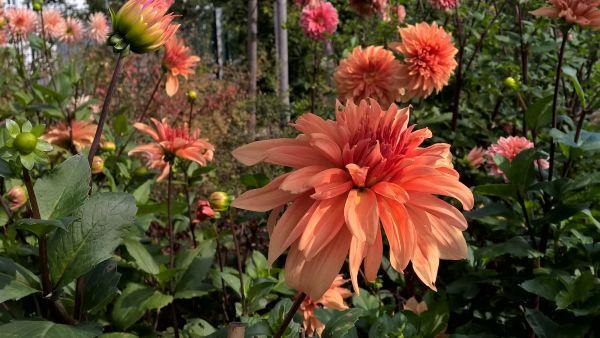 Dahlien - eine schöner als die andere